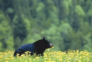 Black Bear!  Bow Valley and Icefield Parkway great for wildlife sightings.